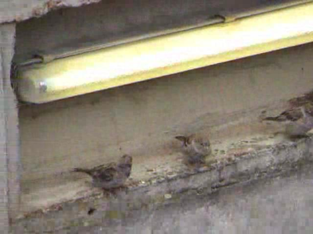 Passer domesticus - gathering at fluorescent tube.ogg