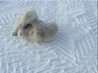 Play fight of polar bears edit 1.avi.OGG