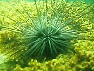Sea Urchin.theora.ogv
