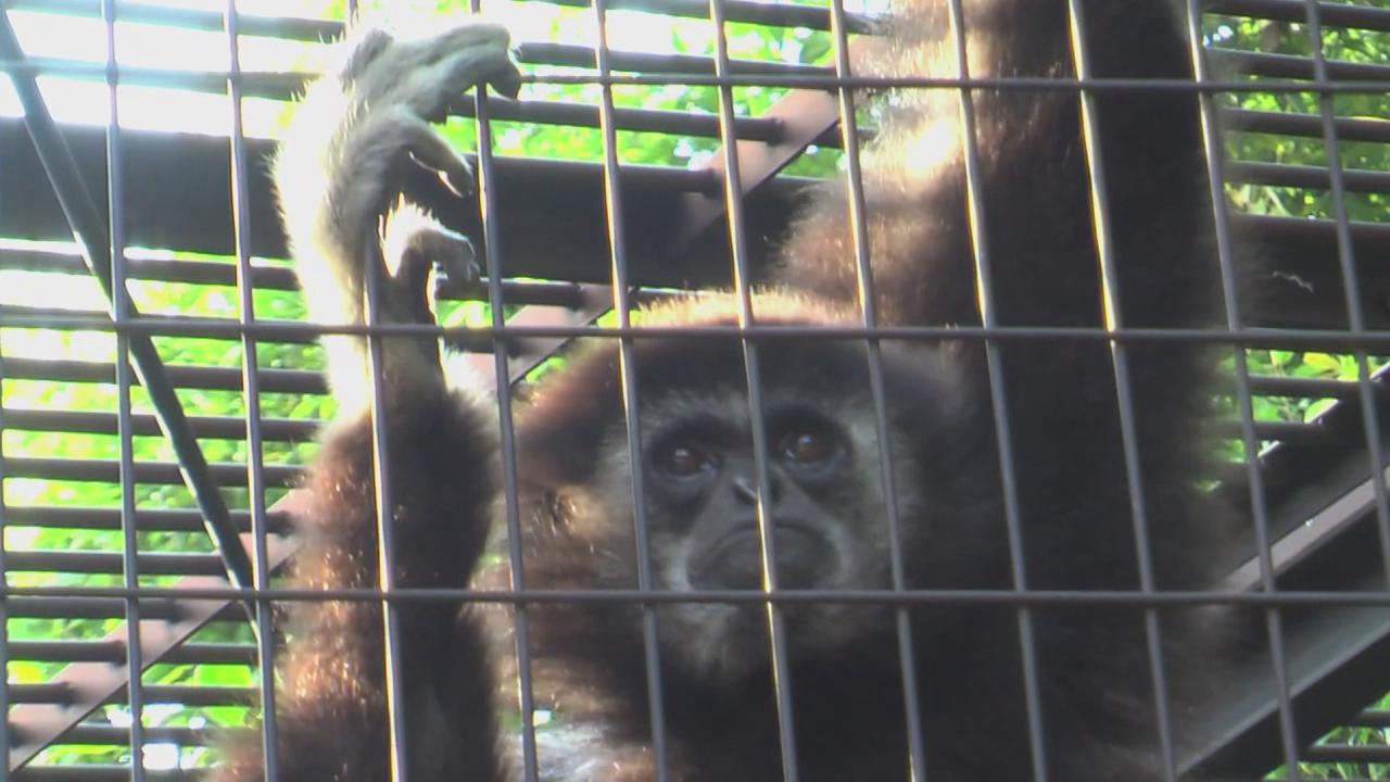 Video showing a lar gibbon monkey holding on to cage bars, a seemingly sad look in its eyes that dart back and forth