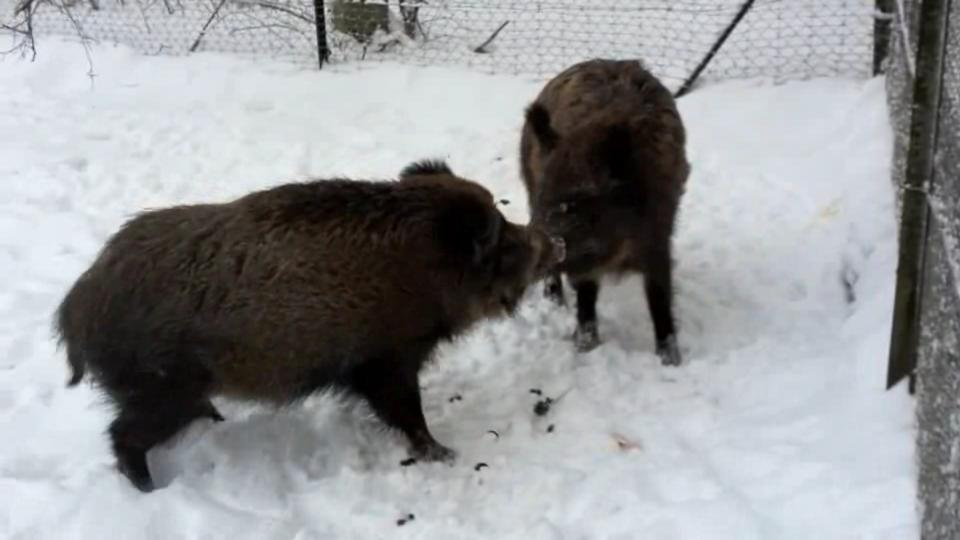 WildschweineImSchnee.ogv