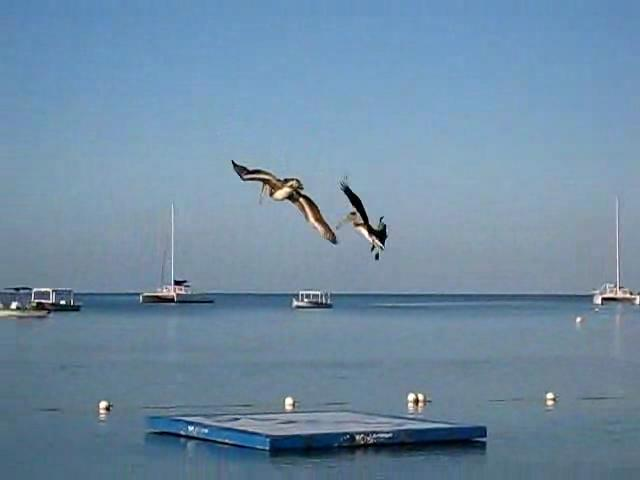 Pelecanus occidentalis -Jamaica -fishing-8.ogv