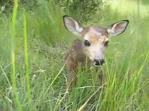 Baby fawn's first steps.ogv