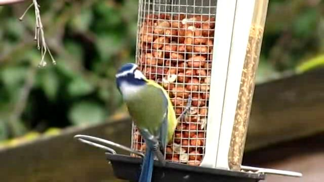 Cyanistes caeruleus -garden bird feeder-8.ogv